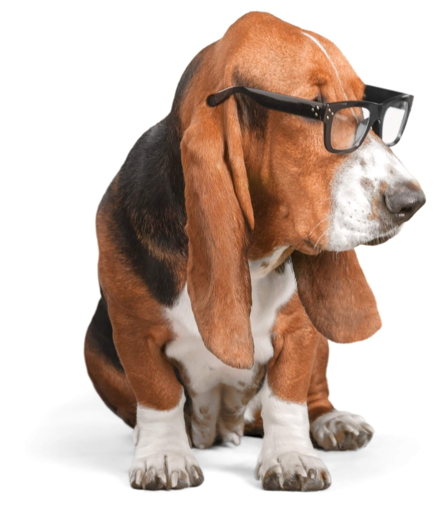 OfficeHounds White Label Social Media Basset Hound with glasses